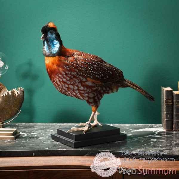 taxidermie de faisan tragopan de temminck objet de curiosit dans collection oiseau. Black Bedroom Furniture Sets. Home Design Ideas